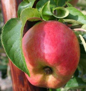 A ZARI apple 2 weeks before harvest