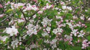 Blossom time at Castle Fram
