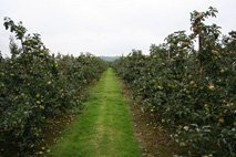 Bramley Orchard