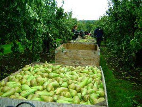Harvesting Pears at Broadwater