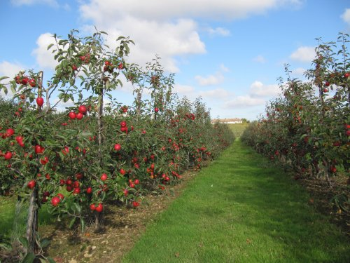 Jazz apple orchard just before harvest