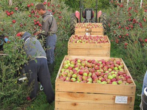 Harvesting Apples at Broadwater