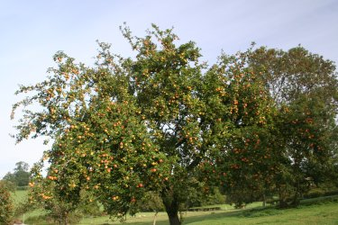 A splendid old cider apple tree