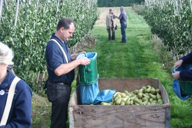 Filling the bins with superb quality pears