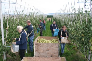Sainsbury personnel picking The Concept Orchard  Pears