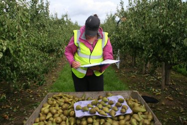 A QC checks picking performance on Conference Pears