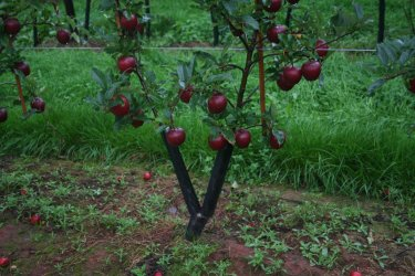 Double leader Gala apple tree