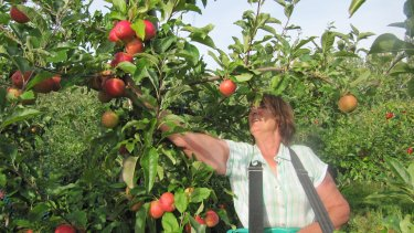 Picking Gala this week in East Sussex