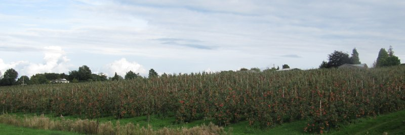 The Jazz orchard at Aston Fruit Farm