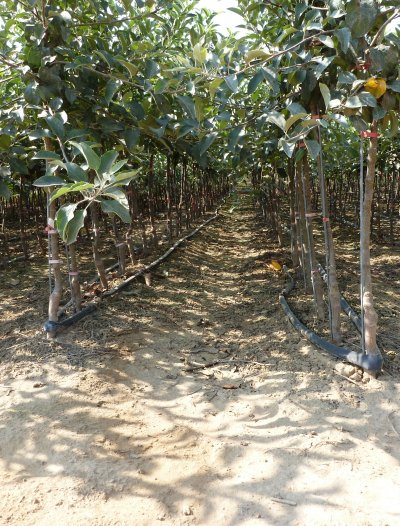 Trickle irrigation is a key element in the nursery process