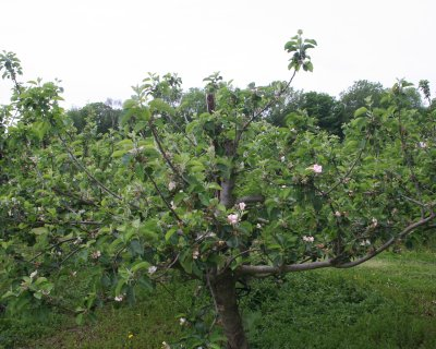 Bramley tree with fruitlets and secondary blossom showing