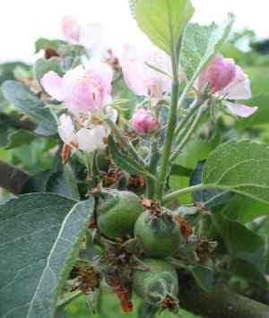 Bramley fruitlets and secondary blossom