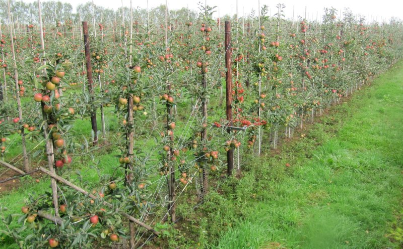 Young Braeburn orchard at Man of Ross