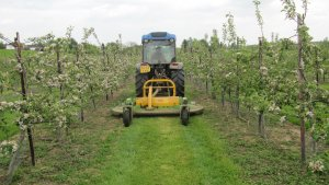 Mowing in an orchard in Kent this week.