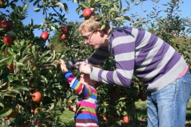 James and his Daddy 'Harvesting' Braeburn at Pippins Farm open day