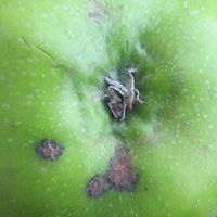 Scab on a Bramley apple