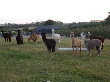 A group of Alpacas at Gore Farm