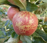 Russet on the cheek of a Gala apple
