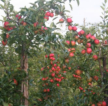 Gala apples at Giles Cannon's at Roughways Farm