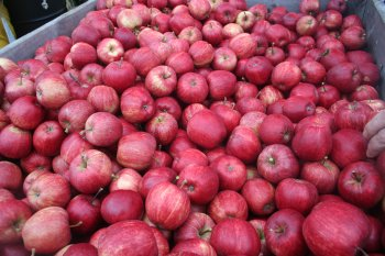 A bin of superb quality Gala apples at Combourne Farm