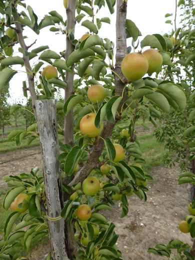 Bambinella Pears at Ham Farm