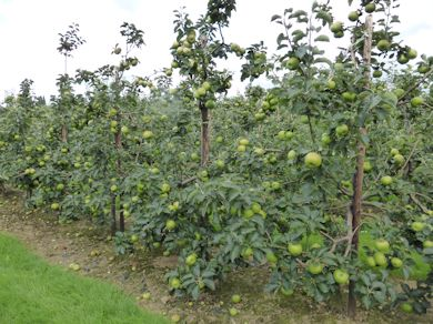 Henry Bryant's 3rd placed Bramley orchard