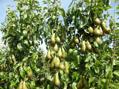 The winning Conference pears at David Long's
