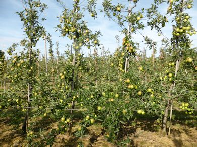 Braeburn is carrying a heavy crop of good quality apples this season