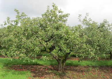 Apples grown on Bush Trees were common in the post War (WW2) years