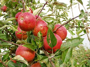 Hail damaged Cox Apples