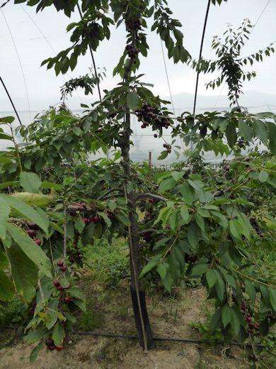 A Penny Cherry tree