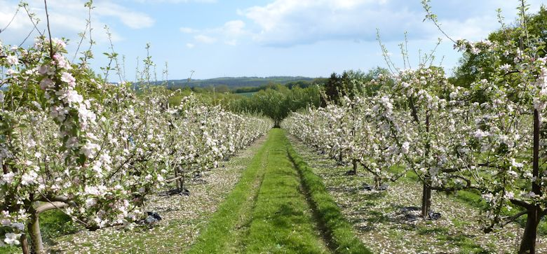 A self fertile Cox orchard in East Sussex on Saturday 25th May.