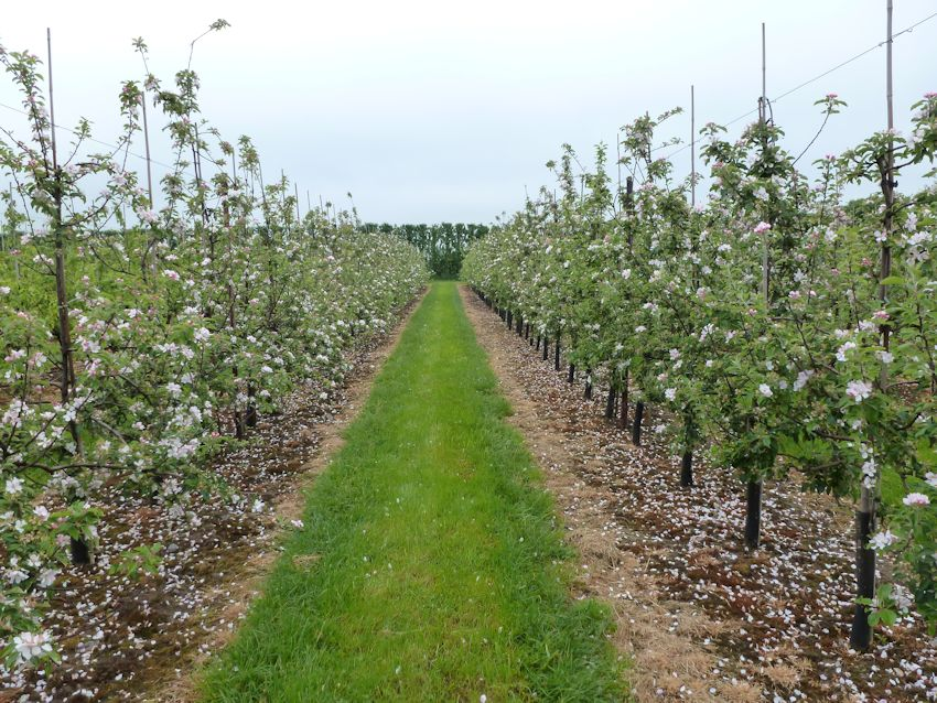 In the fruitwall trials a Cox pruned in standard format (left) is compared with a Cox fruitwall (right)