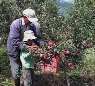 Lakshman showing his young Grandson how to pick Apples