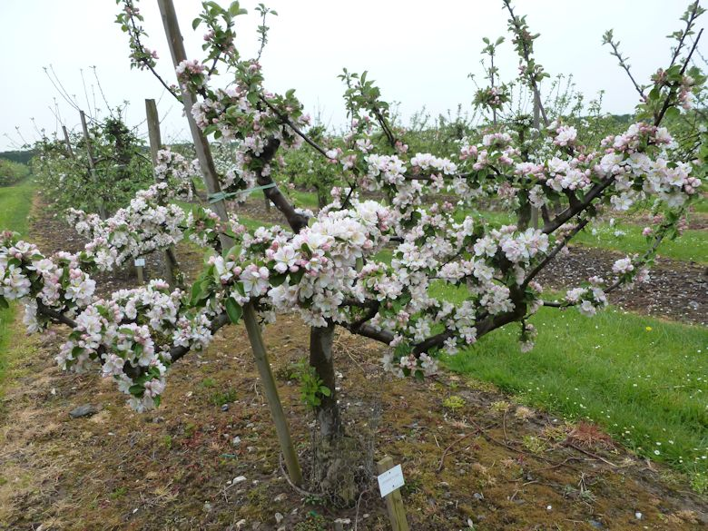 Hommet of French origin is a naturally late flowering variety, and this year later than normal