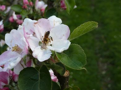 A very busy bee at work in an orchard in East Sussex