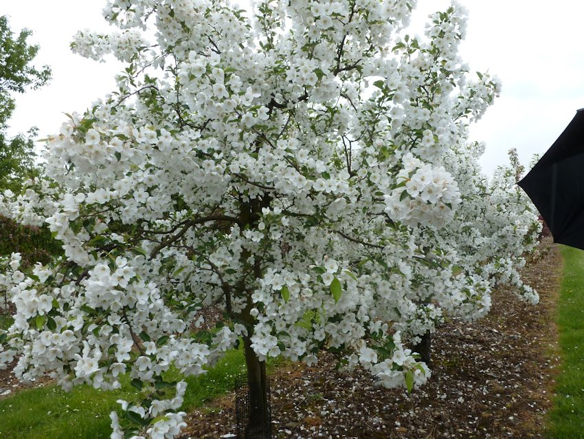 This Malus - Hupehensis very late flowering and caught our eye!