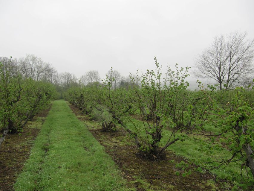 Kent Cobnuts are part of the Mitchell farming history