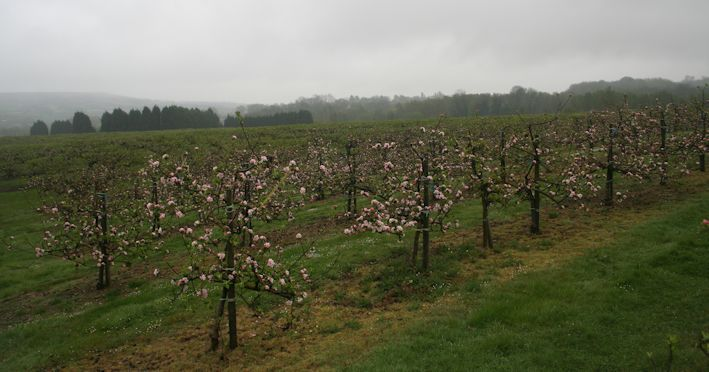 This 6 year old Bramley orchard is a superb example of uniform tree shape