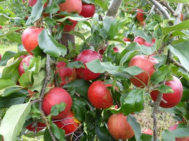 Jugala in the BIFGA 21 Trial Orchard at Hadlow College