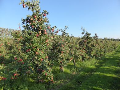The Gala orchard planted by Mark Holden in 1993