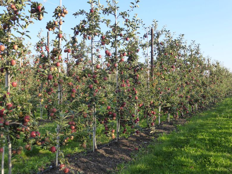Today the modern tree system is for a tall narrow format - a fruit wall