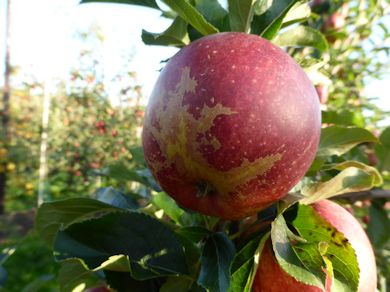 This Gala apple has severe skin russetting