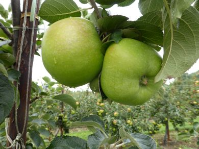 Bramley - our famous Culinary apple - green as grass!