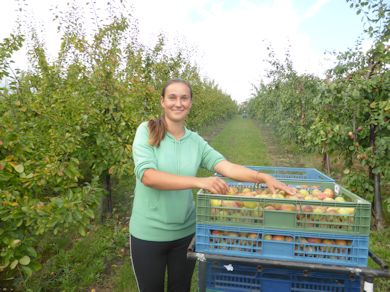 Melinda - supervising Plum picking at Nickle Farm